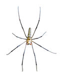 Golden Orb Spider (Nephila pilipes) Stock Photography