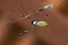 Golden Orb Spider with prey Stock Photo