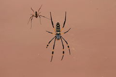 Golden Orb spiders Royalty Free Stock Photography