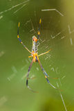 Golden Orb-weaver Spider Stock Images