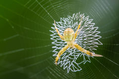 Free Golden Orb-weaver Spider Royalty Free Stock Image - 75836216