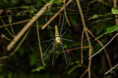Golden orb weaver spider Royalty Free Stock Image