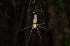 Golden orb weaver spider Royalty Free Stock Photos