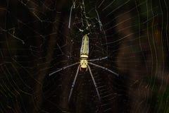 Golden orb weaver spider Royalty Free Stock Photos
