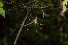 Golden orb weaver spider Stock Photos