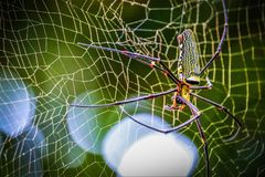 Golden Orb-weaver Spider royalty free stock images