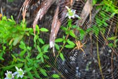 Golden Orb Weaver Spider. In its natural habitat--beach dunes-North Florida Royalty Free Stock Images