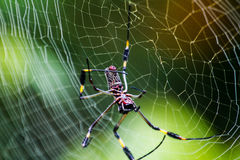 Golden Orb Weaver. Spider on its web in Costa Rica Royalty Free Stock Images