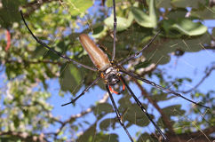 Golden Orb Weaver Spider Nephila pilipes in a web Royalty Free Stock Images