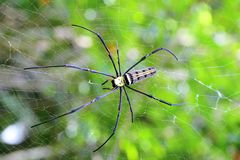 Golden orb-weaver Spider (Nephila plumipes) in we Stock Photos