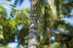 Golden Orb-weaver Spider Stock Image
