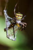 Golden Orb-weaver Spider Stock Photos