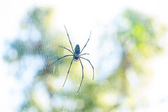 Golden Orb Weaver spider on web. A Golden Orb Weaver spider Nephila genus waits for prey in it`s web Royalty Free Stock Image