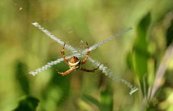 Golden orb weaver. This very special sight was found in a garden. The amazing spider web caught my eye Stock Image