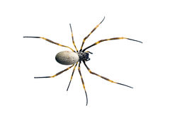 Golden Orb-weaving Spider, Nephila maculata Stock Images
