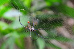 Golden orb web spider Stock Image