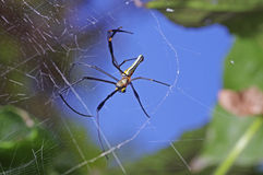 Golden orb-web spider Royalty Free Stock Photography
