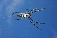 Free Golden Orb Web Spider Stock Image - 7086681