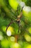 Golden orb web spider. Macro of golden orb web spider Royalty Free Stock Images