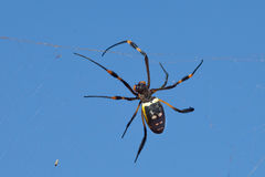 Golden orb web spider against blue sky Stock Images