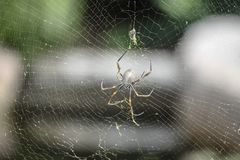 Golden Orb Web Spider. Australia Golden Orb Web Spider waiting for prey to fly into its web Stock Image