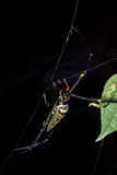 Golden Orb Web Spider Stock Images