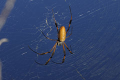 Golden orb-web spider, nephila clavipes. On the web Royalty Free Stock Photo