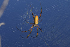 Golden orb-web spider, nephila clavipes Royalty Free Stock Photo