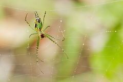 Golden orb web spider Nephila senegalensis) Royalty Free Stock Images