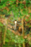 Golden orb-web spider Royalty Free Stock Photo