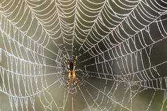 Golden Orb-Web Spider Stock Images