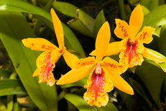 Golden Orchid Royalty Free Stock Image