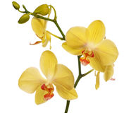 Golden orchid flowers isolated on white Stock Photo