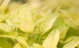 Golden Oregano Royalty Free Stock Photography