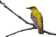 Golden Oriole Stock Image