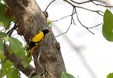 Golden Oriole Royalty Free Stock Photo