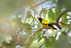 Golden Oriole. Is also called as Eurasian Stock Images