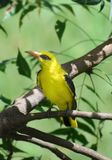 The golden oriole in the beautiful nature stock images