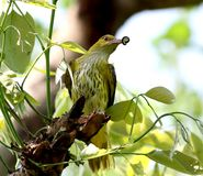 Golden oriole stock images