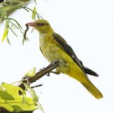Golden oriole royalty free stock photography