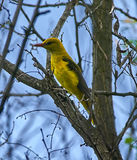Golden oriole on a branch Stock Photography