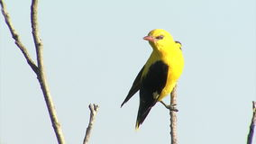 Golden oriole eating fruits. Blue sky background. stock video