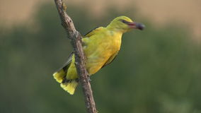 Golden oriole eating fruits. Green blurred background. Exotic yellow bird perched on branch and feating fruits. Long lens shot, green blurred background stock video footage
