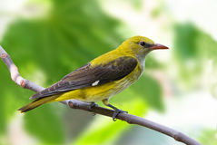 Golden oriole female on a branch. A golden oriole (Oriolus oriolus) female on a branch Stock Photo