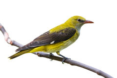 Golden oriole female isolated stock image