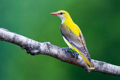 Golden Oriole Royalty Free Stock Images
