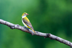 Golden Oriole. The female oriole sitting on a branch. Oriolus oriolus, Golden Oriole.  Russia, the Ryazan region (Ryazanskaya oblast), the Pronsky District Stock Photos