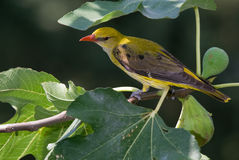 Golden oriole and figs Stock Image