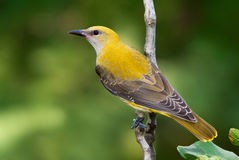 Golden oriole juvenile on a branch Stock Photo