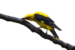 Golden Oriole Male Royalty Free Stock Photography